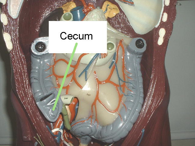 Cecum Images - Reverse Search
