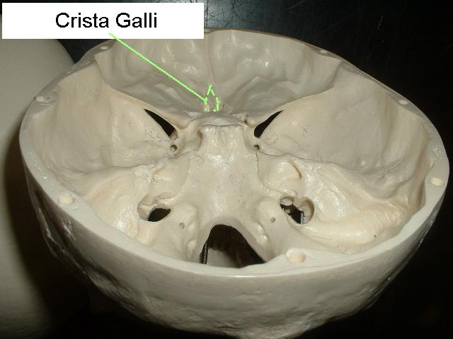 Crista Galli Skull Diagram - Auto Electrical Wiring Diagram •